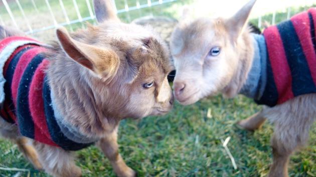 billy-goats