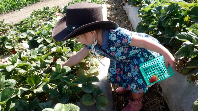 amelie-picking-strawberries