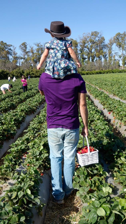 strawberry-picking-fields
